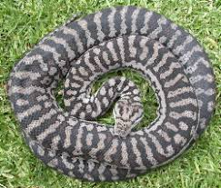 Coastal Carpet Python Facts by Untitled Document
