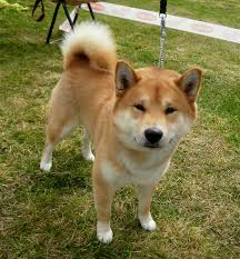 Do Shiba Dogs Shed by Shiba Inu Dog Puppy Dog Gallery