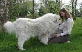 great pyrenees dogsbreeds