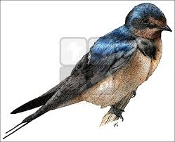 Barn Swallow (Hirundo Rustica) Line Art And Full Color Illustrations Barn Swallow Sitting On A White In Sumrtime Stock Photo Swallow Watercolor Print 5x7 Bird Art David Scheirer Wooden By Limitlessendeavours On Deviantart Birding Is Fun The Beloved Character Concept Pilot Illustration Project Barn Barnstorming Swallows Make Their Return To New Hampshire Birds Of York Larks And Kinglets Cool Facts About Small With Forked Tails Hirundo Rustica Male Lake Washington Union Bay Seattle Usa Feather Tailed Stories