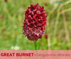 Great Burnet facts and health benefits