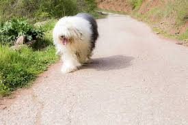 List Of Dogs That Shed Hair by Old English Sheepdog Dog Breed Information Pictures