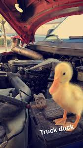 100 Truck Sluts Jjron On Twitter Who Needs Truck Sluts When You Got Truck Ducks