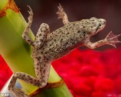 Do Aquatic Dwarf Frogs Shed Their Skin by Salmonella Water Frogs That Caused Outbreak Sold Again By Same