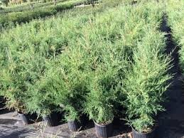 Christmas Tree Saplings For Sale by Nursery Evergreen Trees Wolcyn Tree Farms Cambridge Mn