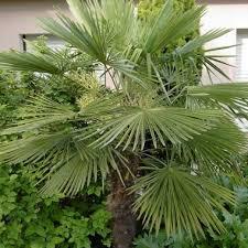 prix des palmiers exterieur palmier chanvre trachycarpus fortunei jardiland
