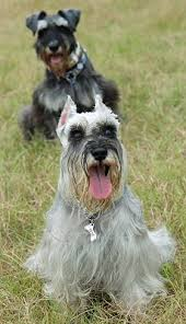 miniature schnauzers what s good about em what s bad about em