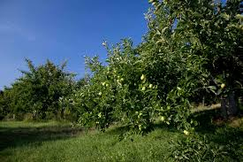 Christmas Tree Shop Hartsdale New York by Apple Picking Westchester Ny And Nyc Pick Your Own Apples And