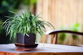 grünlilie schlafzimmer pflanzen zimmerpflanzen ideen