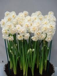 daffodil bridal crown bulbs daffodil bulbs daffodil bridal