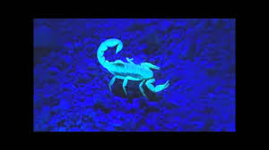 Scorpions under UV Light