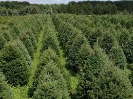 Nordmann Fir Christmas Tree Nj by 14 Best Hill Farms Christmas Trees Images On Pinterest Christmas