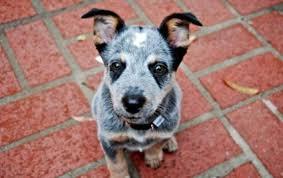 stop blue heeler shedding blue heeler puppies