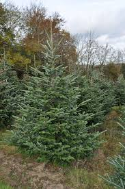 10ft Christmas Tree Uk by Fraser Fir Christmas Trees For Sale Sendmeachristmastree