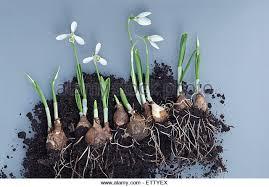 snowdrop bulbs plant planting stock photos snowdrop bulbs plant