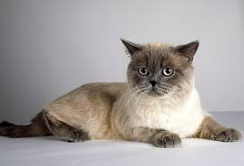 The British Shorthair Cat Breed Information