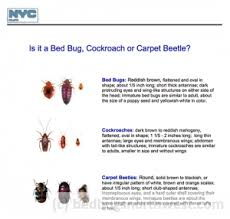 Do Carpet Beetle Bite by Carpet Beetles Or Bed Bugs Bed Bugs Northwest