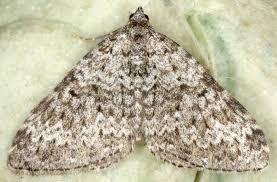 British Carpet by 102 Coenotephria Salicata Striped Twin Spot Carpet British