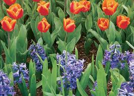 combining flowering bulbs fall annuals in the south garden club