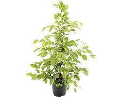 birkenfeige benjamin feige floraself ficus benjamina golden king h 100 110 cm ø 21 cm topf