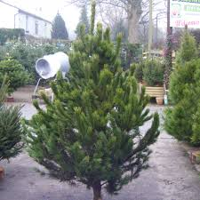 Balsam Christmas Trees Uk by How Long Do Real Christmas Trees Last U2013 Pyracantha Co Uk