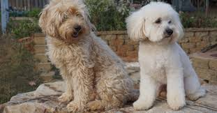 Do Cavapoos Shed A Lot by Goldendoodle Association Of North America All About Goldendoodle