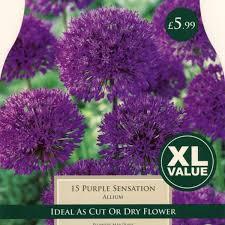allium purple sensation taylors bulbs capital gardens