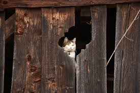 Free Stock Photo Of Barn, Cat, Domestic Cat Ferals Strays And Barn Cats Cat Tales Tuesdays Fun And Aww My Moms Is Gorgeous Viralspell The Care Feeding Of Timber Creek Farm Program Buddies Seeking Support For Its Catsaving Efforts Adoption Barn Cats Near Bardstown Ky Petfinder For Green Rodent Control Turn To Barn Cats The Flying Farmers Free Images Wood Old Animal Cute Wall Pet Rural Sitting On Top Of Bales Straw Ready To Pounce Stock Weve Got Hire Central Missouri Humane Society By Jsf1 On Deviantart