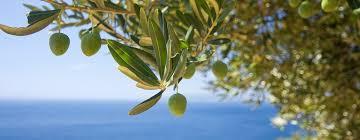 ᐅ der olivenbaum ein mediterraner traum für den heimischen