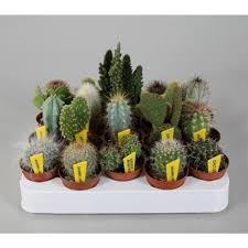 mini kakteen set mit 10 pflanzen