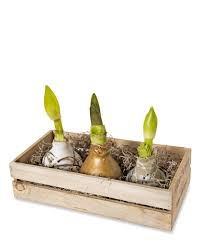 waxed amaryllis in a crate set of 3 amaryllis gift sets