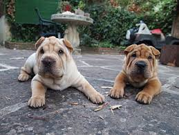 Do Shar Peis Shed A Lot by The Ultimate Chinese Shar Pei Dog Food Guide Dog Food Guru