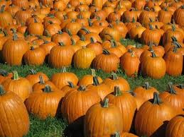 Where Did Pumpkin Patch Originate by Curtis Orchard U0026 Pumpkin Patch Champaign All You Need To Know