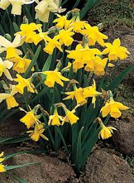 top ten tips for growing daffodils
