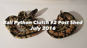 ball python clutch 2 post shed july 2016 youtube