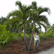 Christmas Tree Seedlings Wholesale by Adonidia Palm Adonidia Merrillii Palmco Wholesale Palms Florida