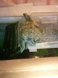 100 turtle excessive shell shedding diamondback terrapin
