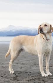 Chesapeake Bay Retriever Vs Lab Shedding by Labrador Retriever Dog Breed Information Pictures