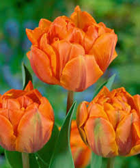 orange princess late tulip 10 bulbs