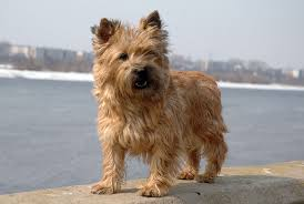 10 Dog Breeds That Shed The Most by 30 Best Small Dog Breeds List Of Top Small Dogs With Pictures