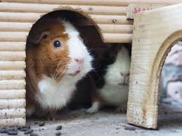 Pine Bedding For Guinea Pigs by The 9 Best Basic Guinea Pig Supplies To Buy In 2017