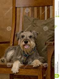 Miniature Schnauzer Dog On Wooden Rocking Chair Stock Image - Image ... These Elder Dogs Are Missing Someone From The Rocking Chair Favogram Puppy Dog In Tadley Hampshire Gumtree On A Stock Photo Download Image Now Istock Vintage Grandpa Man Wdog Pipe Rocking Chair Tirement Fund Bank Taking Akc Trick To The Next Level Top Notch Toys Miniature Schnauzer Wooden Lessons From Part Two Mothering Spirit Whats A Good Rocking Chair Quora Hd Welcome Are Love Puppies Lovers