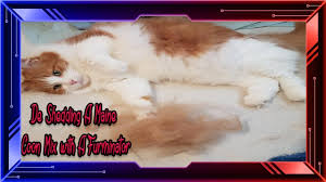 Do Maine Coons Shed In The Summer by Maine Coon Mix De Sheeding His Summers Coat Furminator Tool