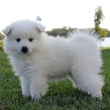 Toy American Eskimo Dog Shedding by American Eskimo Puppies For Sale Greenfield Puppies