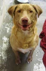 sweet chesapeake bay retriever puppy chesapeake bay retriever dog