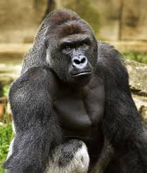 Cincinnati Zoo Halloween by Minnesota Woman Who Helped Raise Cincinnati Zoo Gorilla Mourns