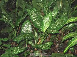 Dumb Cane Dieffenbachia seguine in the Dieffenbachias Database