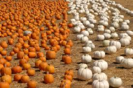 Pumpkin Picking Nj 2015 by Fall Harvest Festival U2013 Underwood Family Farms