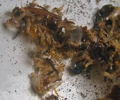 Carpet Weevil Pictures by Carpet Beetle Damage Anthrenus Bugguide Net