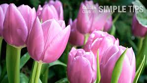 4 tricks for planting tulip bulbs garden club